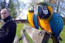 Volné létání s papoušky Ara ararauna. Vlevo chovatel Zdeněk Krňávek