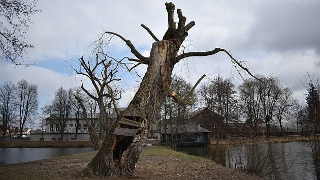 Vrba náhrobní na hrázi zábřežského rybníku Oborník po sesazení koruny.