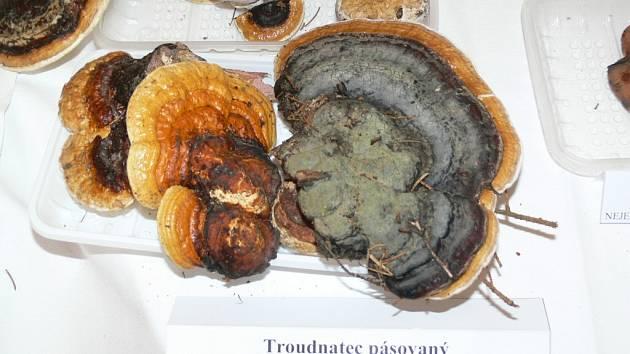 Na výstavu hub v šumperském informačním centru v budově muzea přišly stovky návštěvníků.