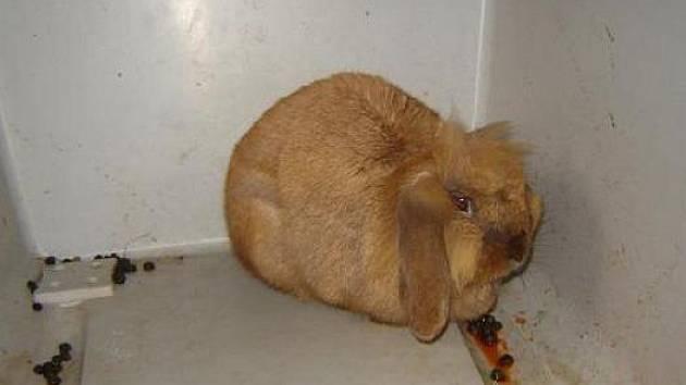 Městskou policií nalezený králík