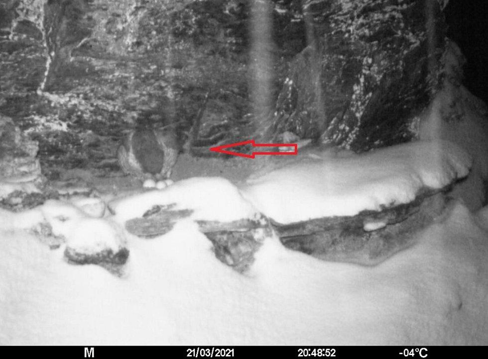 Sokolí samice upravuje snůšku.