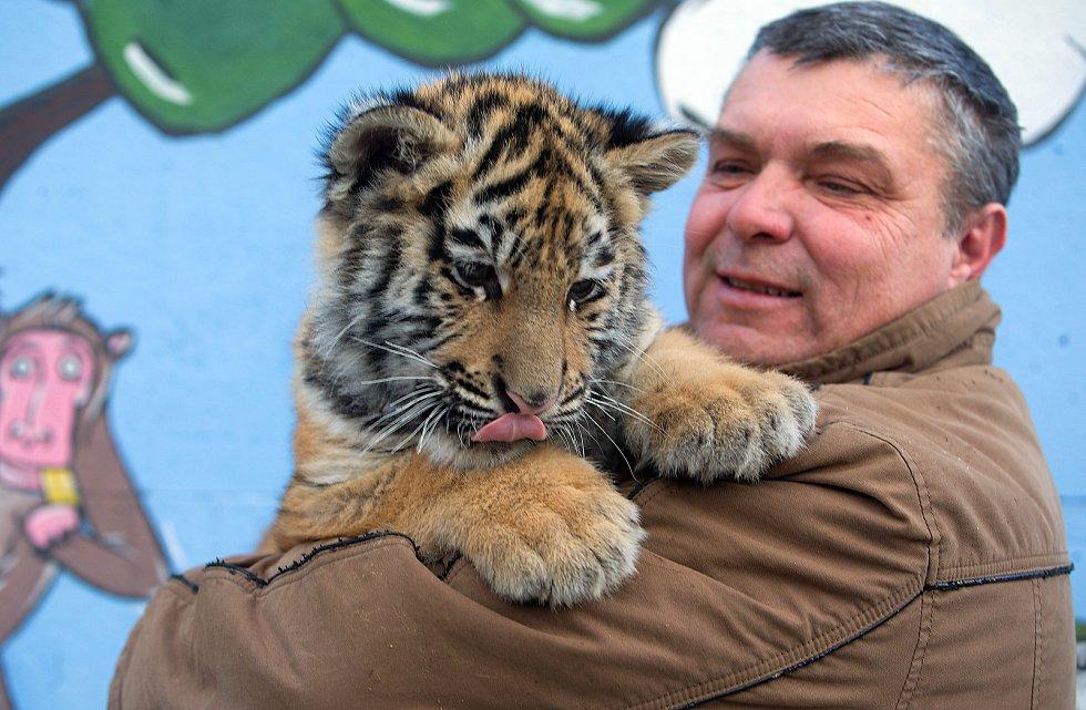 Nevěsta pro Diega. Novým přírůstkem Faunaparku v Lipové-lázních je kotě samička tygra ussurijského.