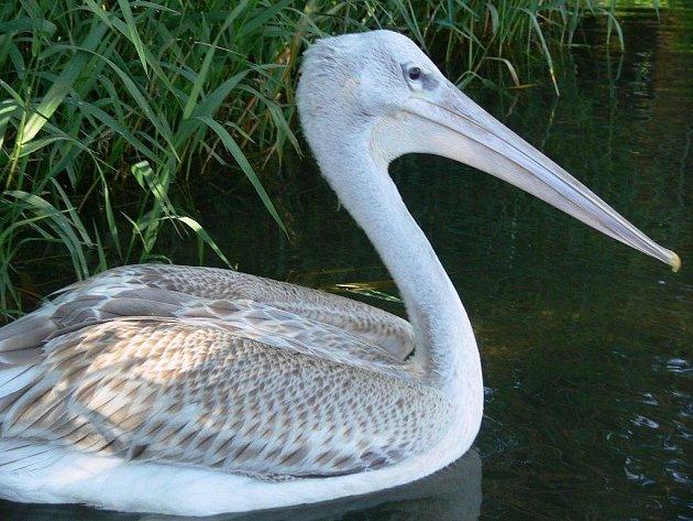 Mládě pelikána na našlo dočasný domov na Moravičanském jezeře, kde ho krmí Jiří Krejčíř