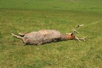 Postřelený jelen milu musel být utracen.