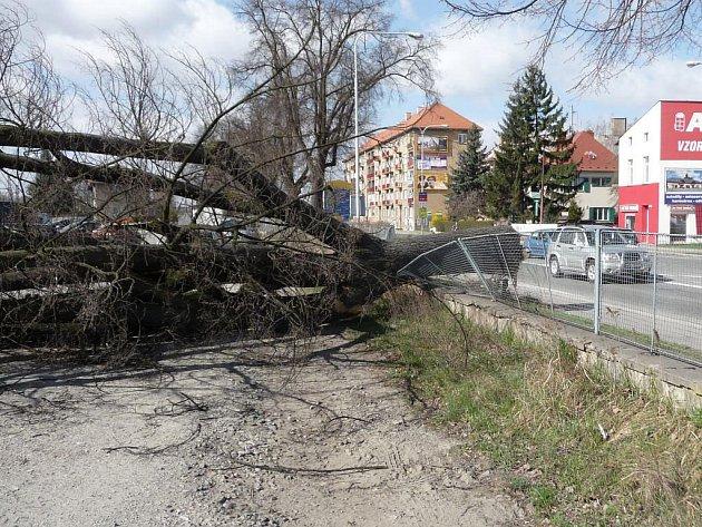 Lípa v Jesenické ulici v Šumperku