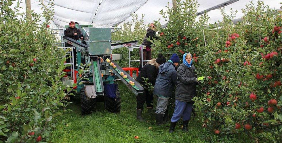 Sklizeň jablek v sadech akciové společnosti Úsovsko se sídlem v Klopině