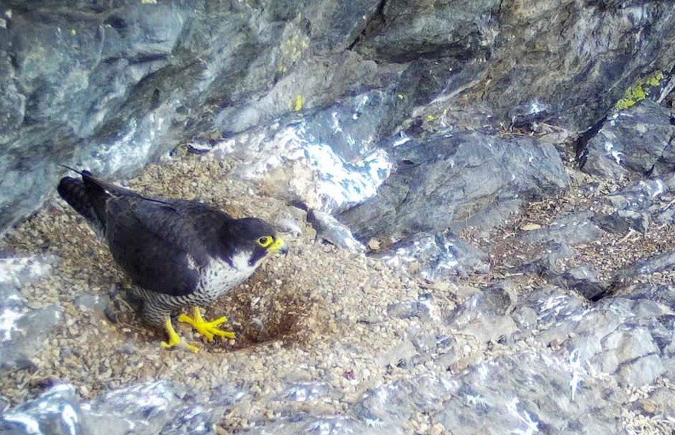 Sokolí samice u hnízdní kotlinky.
