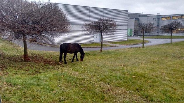 Kůň v areálu firmy v Šumperku