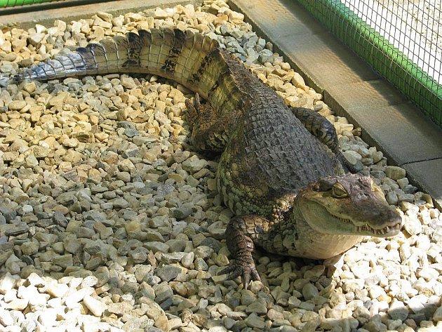 Kajman v rapotínském zookoutku