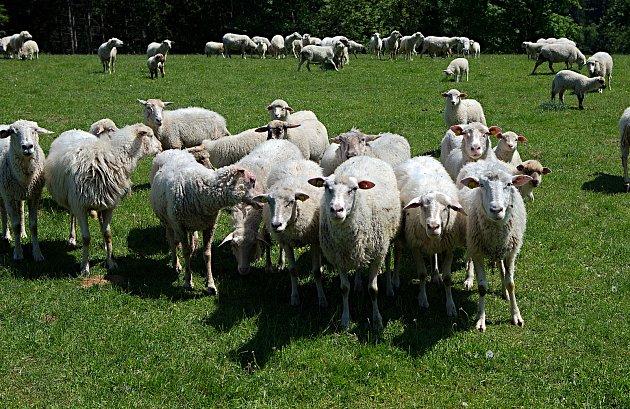 Ovečky na pastvinách pod Kralickým Sněžníkem