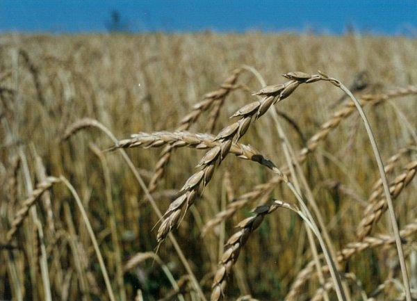 Špalda je prastará odrůda pšenice a první plodina, sníž firma PRO-BIO, s.r.ozačínala