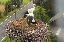 Ostře sledované čapí hnízdo v Supíkovicích na Jesenicku. Online přenos z hnízda