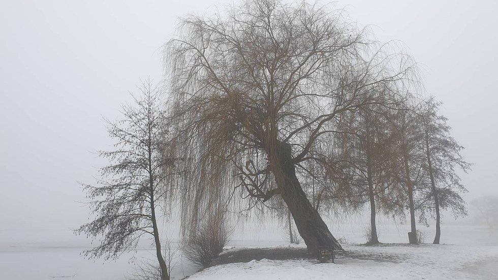 Původní podoba vrby náhrobní na hrázi zábřežského rybníka Oborník.