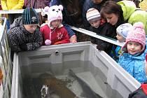 Z pivovarského rybníka tahali rybáři pod bedlivým dohledem vodníka Pivínka především kapry a amury. Nechyběl ale ani obří sumec.