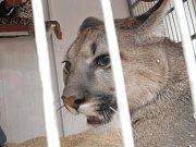 Puma na ilustračním snímku