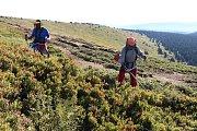 Sečení borůvčí ve Velkém Kotli a na Petrových kamenech v Jeseníkách