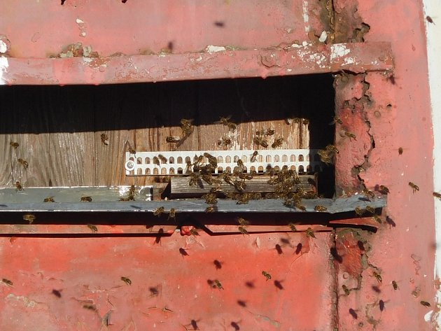 Takto vylákalo v úterý 26. ledna slunce ven včely v lokalitě Sedm Lánů na Javornicku.