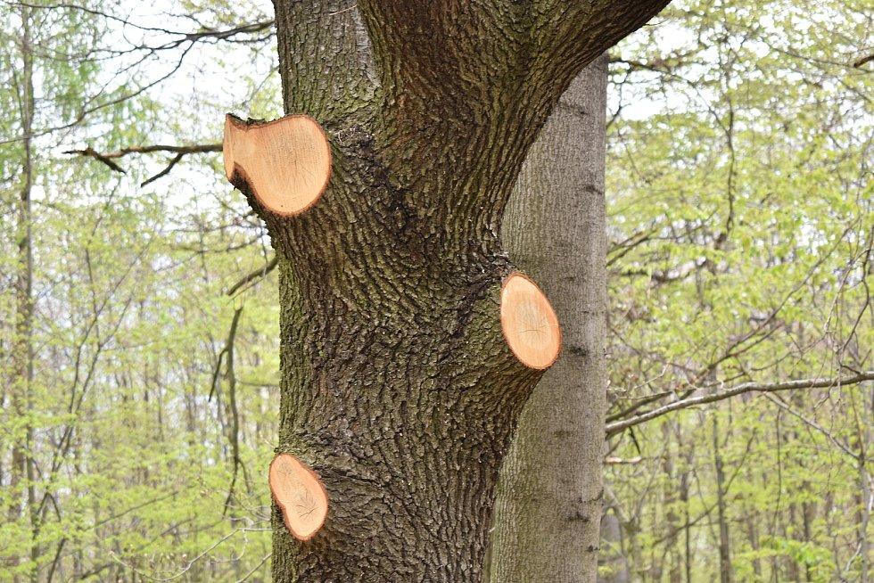 Místo v remízku u Krnova, kde stával mohutný dub. Aby mohla k místu projet technika, bylo nutné ořezat některé větve okolních stromů.