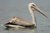 Zatoulaný pelikán africký na Moravičanském jezeře