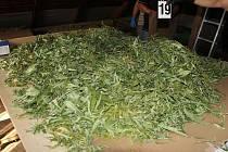 V pátek 9. září oznámil osmatřicetiletý muž z Prahy, že byl okraden. Sdělil, že ze zahrady jeho domu ve vesnici na Zábřežsku mu zmizelo několik desítek rostlin konopí. Netušil, že za pěstování tak velkého počtu rostlin mu hrozí až desetileté vězení.