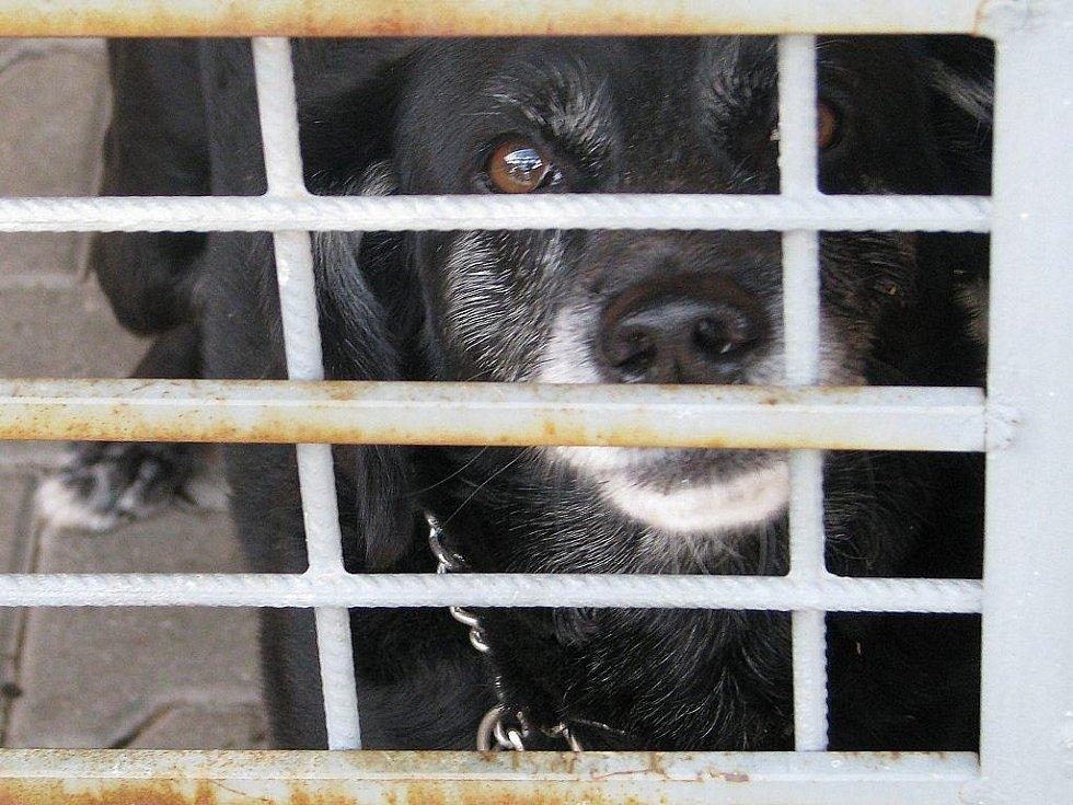 Starší pes, nalezený ve Starobranské ulici