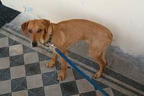Svého páníčka hledá zatoulaný pes, kterého našli v pátek 21. října na sídlišti U Papírny ve Velkých Losinách