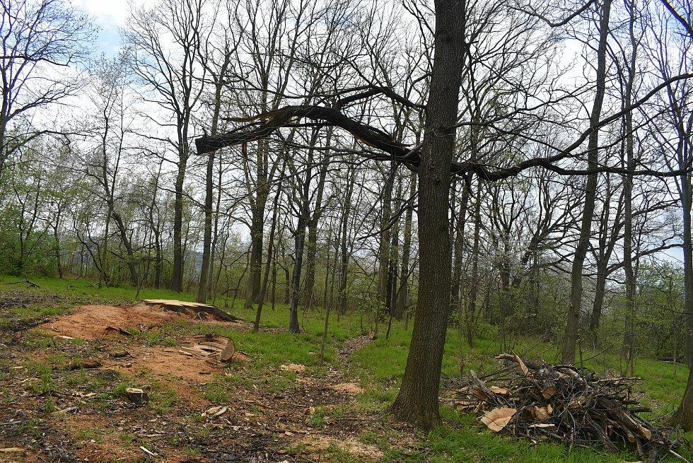 Pokácený dub, který přes tři století rostl nad Krnovem