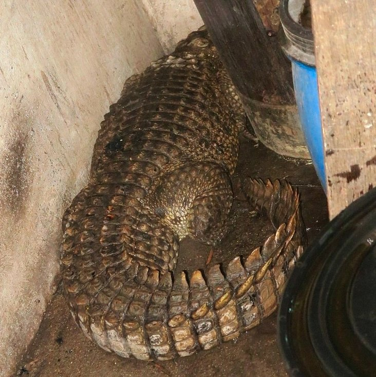 Při požáru domu v Klopině našli hasiči krokodýla, 12. března 2021