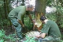 Bobři si hravě poradí i s velkými stromy, jak dokazuje tento případ od přehrady Nemilka na Šumpersku