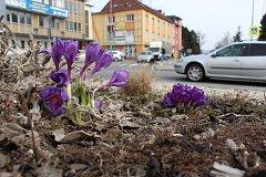 V Zábřehu vykvétají krokusy, které na veřejných prostranstvích vysadili sami obyvatelé města.
