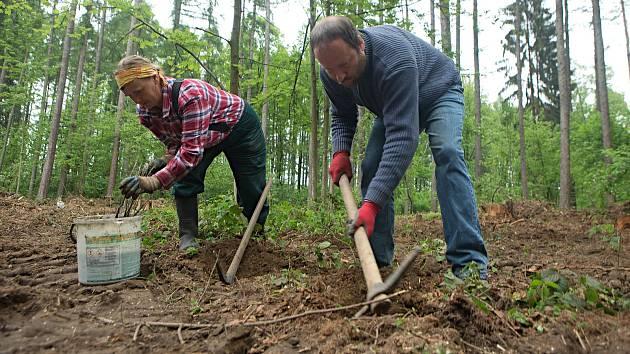 Čtyry sta nových dubů vysázeli dva lidé na pasece u Mikulovic.