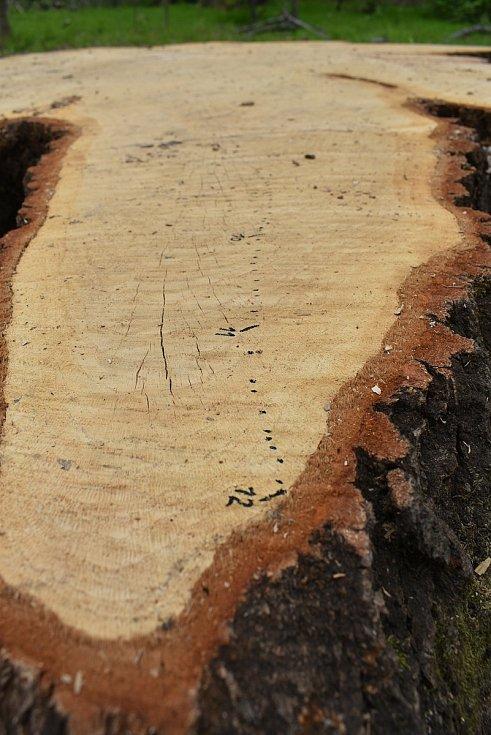 Pařez mohutného dubu v remízku u Krnova. Tečkami jsou vyznačené letokruhy, čísly jednotlivé desítky letokruhů.