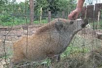 Nalezený divočák žije v ohradě v arboretu školy v Zemědělské ulici v Šumperku už od května.