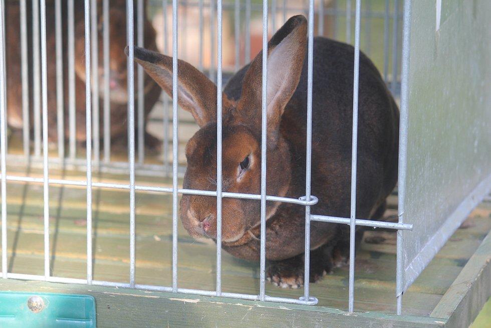 Zimní výstava králíků v Kostelci na Hané