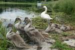 Početná labutí rodinka na rybníku Bidelci v Plumlově - 16. 6. 2020