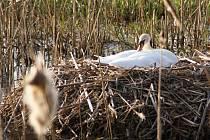 Labuť hnízdící na Podhradském rybníce v Plumlově