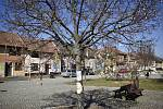 V Němčicích nad Hanou mají tradičně nazdobený velikonoční strom a kvetou tam přímo na náměstí krásné krokusy.