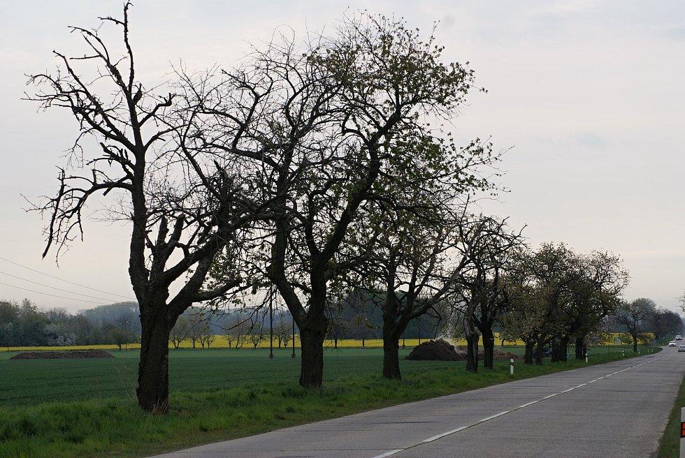 Legendární třešňová alej podél silnice z Mostkovic na Ohrozim - začátek května 2020