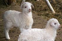 Kozy a kůzlátka pana Kohouta ze Žárovic