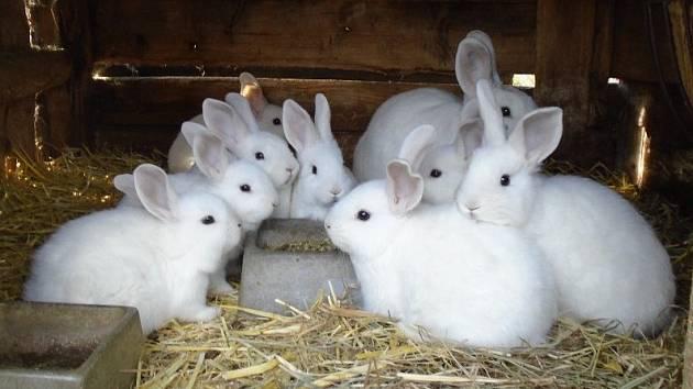 Prostějovská výstava králíků