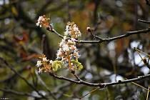 Rozkvetlé podzimní kaštany ve Víceměřicích