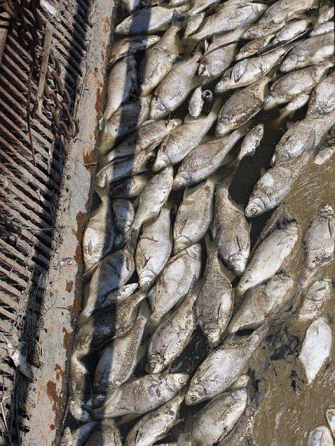 Uhynulé ryby na plumlovské přehradě