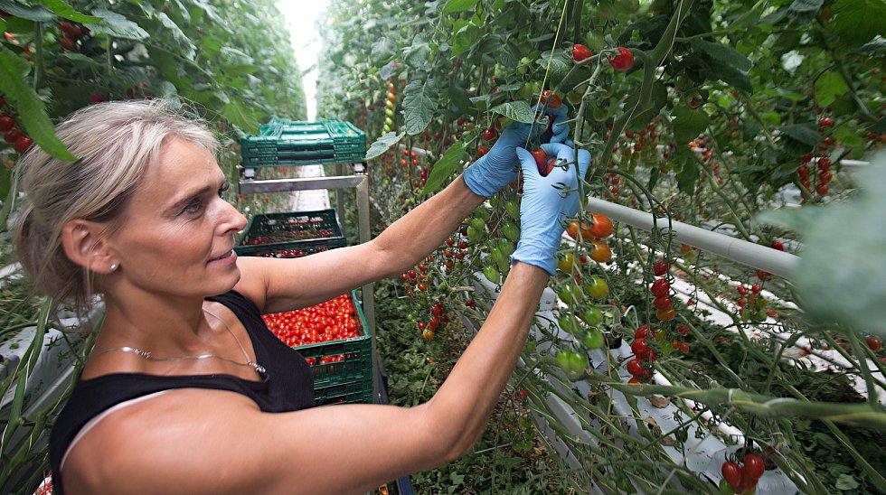 Sklizeň rajčat ve smržickém skleníku