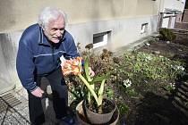 Již čtyřicet let přináší Oldřichu Lošťákovi jaro klívie hřebenatka, květina původem z jihu Afriky.