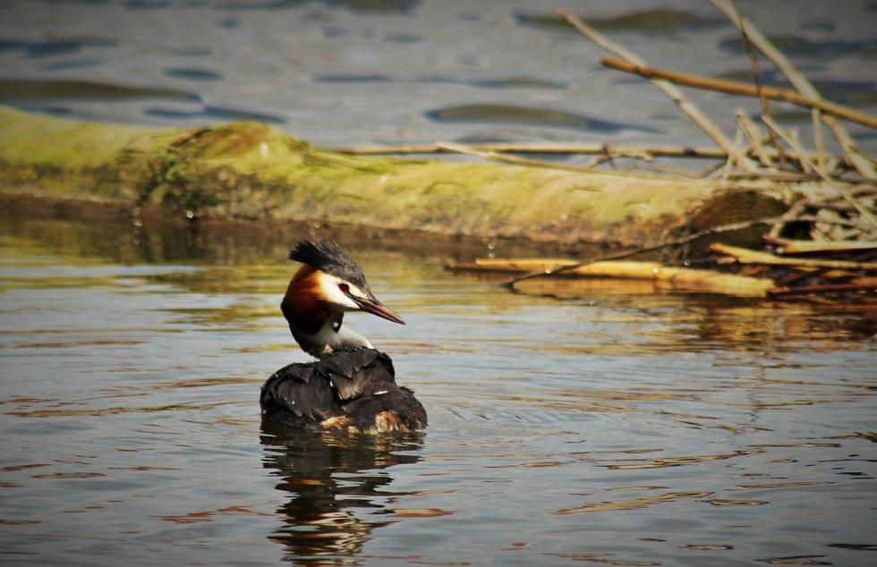 Potápka roháč na Podhradském rybníku