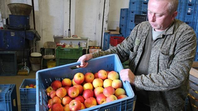 Sad jablek v Mostkovicích - třídění