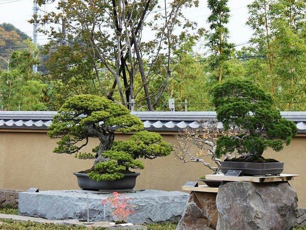 """Na snímku vlevo japonská chlouba tzv. """"císař bonsai"""", kterou si bonsaista Jaroslav Servus vyfotografoval na národní výstavě vJaponsku."""