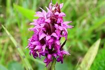 Orchideje na Konicku.