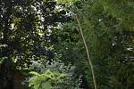 V Botanické zahradě se skrývá spousta zajímavé zeleně. Šácholan tříplátečný. 28.7.2020