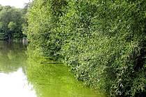 Rybník v Hamrech opanovaly sinice
